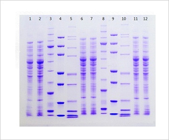 how to prepare sds page gel