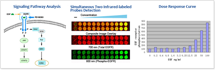 Cell-based Kinase Assay