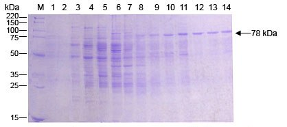 Baculovirus Protein Purification