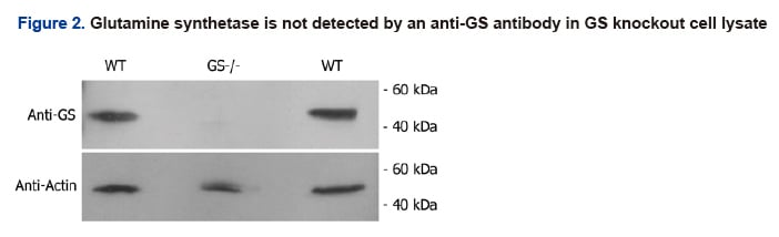 Glutamine synthetase is not detected by an anti-GS andtibody in GS knockout cell lysate