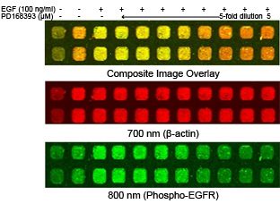 Two-Color Cellular Western detection of phospho-EGFR