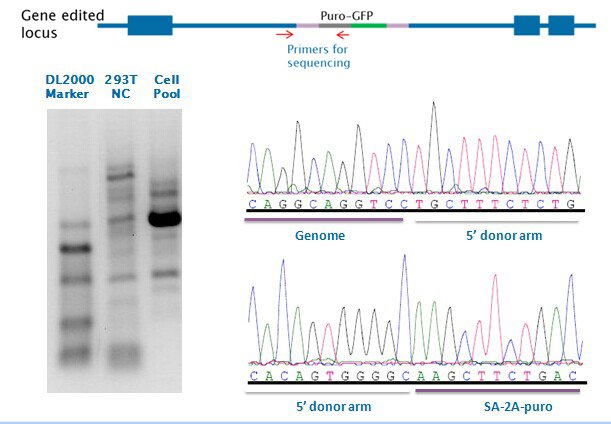 Cell pool PCR amplification and sequencing