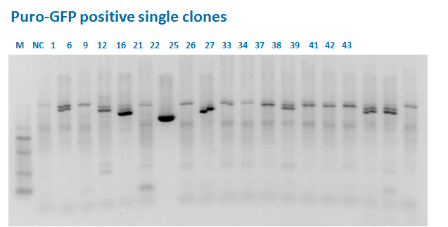 PCR analysis of individual clones for Puro-GFP insert