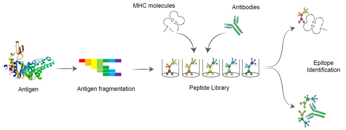 General strategy for antibody epitope mapping and identification
