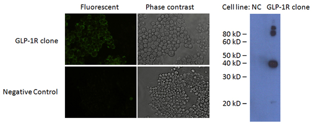 GLP-1R expression in a representative GLP-1R clone by anti-GLP-1R antibody