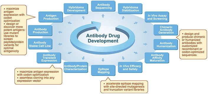 therapeutic antibody development