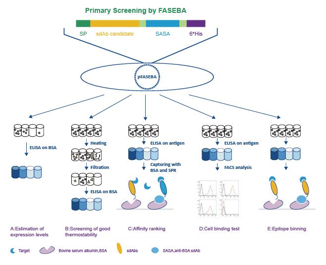 Antibody Affinity Maturation Service