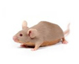 Antibody Fights Alzheimer's Disease in Mice
