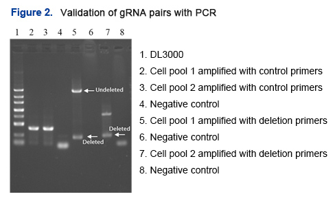 Validation of gRNA pairs with PCR