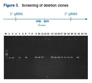 Screening of deletion clones