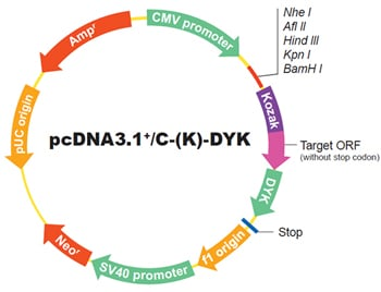 ORF cDNA Cloning Vectors