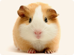 guinea pig enzyme; animal research for drug development