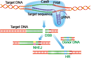 CRISPR guide RNA binds DNA to target Cas9-mediated genome editing