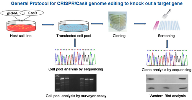 Experimental Protocol for CRISPR/Cas9 genome editing to knock out a target gene