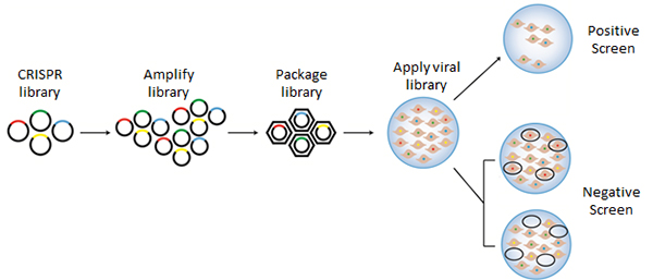 CRISPR Library Screens