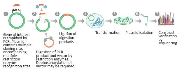 molecular cloning strategies