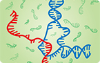 RNA binding DNA to regulate gene expression