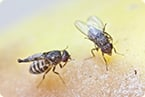 fruit fly fertility requires fatty acid elongase gene for sex pheromone biosynthesis
