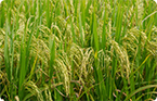 Researchers elucidate pathway that leads to bigger rice grains