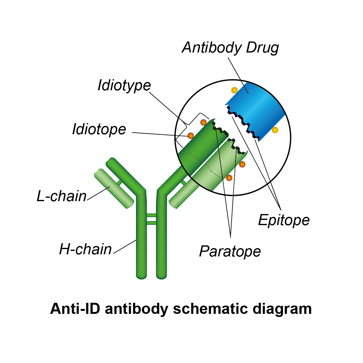 A The Idiotypic Network An Antigen Ag Is Recognized By: Anti-idiotype Antibody Service