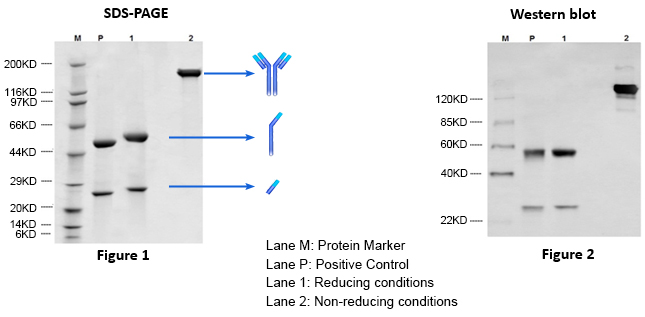 IgG Antibody Purification and Analysis