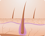 molecular mechanism causing follicles to shrink revealed