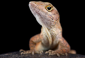 Albino lizards result from pioneering use of CRISPR-Cas9 genome-editing in reptiles