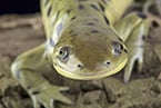 : reproduction, kleptogenesis, evolution, salamander, ambystoma, genetics, offspring