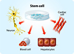 synthetic stem cell, cardiac muscle, stem cell, stem cell therapy, cmmp