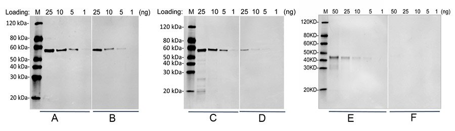 MonoRab was used to develop an anti-FLAG tag antibody for Western blot and IP applications