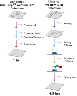 One-Step Western Blot analysis flow chart