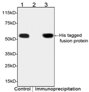 THE<sup>TM</sup> His Tag Antibody, MAb, Mouse