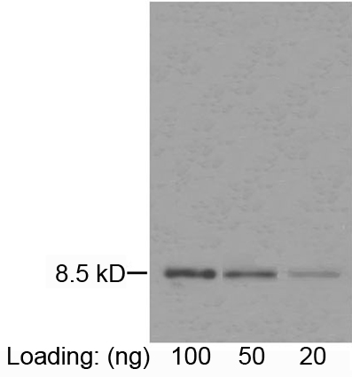 IL-8 Antibody, MAb, Mouse