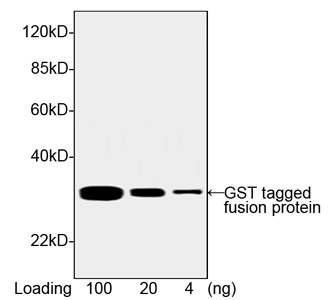 THE<sup>TM</sup> GST Antibody, MAb, Mouse