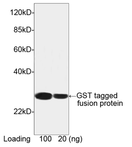 THE<sup>TM</sup> GST Antibody [HRP], MAb, Mouse