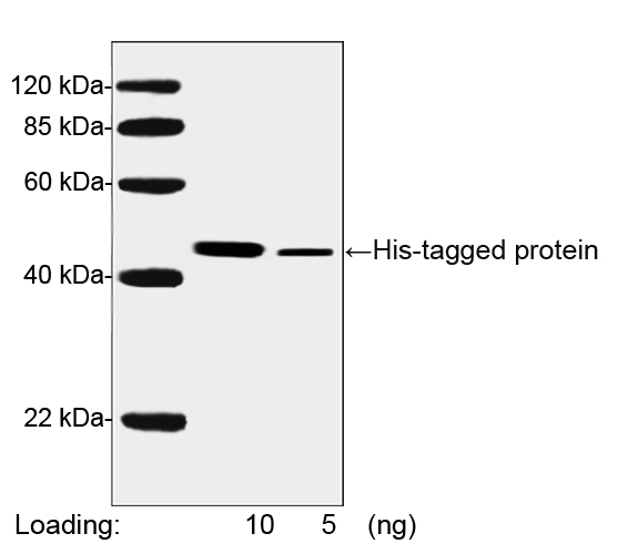 THE<sup>TM</sup> His Tag Antibody [HRP], MAb, Mouse