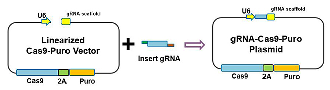 High-Efficiency GRNA-Cas9-Puro Plasmid (linear) Assembly Kit