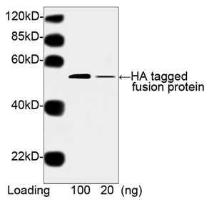 THE<sup>TM</sup> HA Tag Antibody [HRP], MAb, Mouse