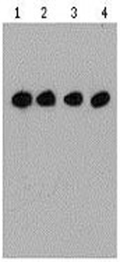 Mouse Anti Flag-tag (monoclonal) Western Blot