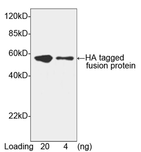 Goat Anti HA-tag (polyclonal) Western Blot