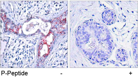 Rabbit Anti GSK3β (Phospho-Ser9) (polyclonal) Immunohistochemical analysis