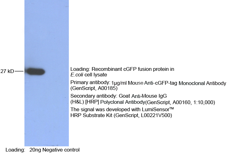 Mouse Anti cGFP-tag (monoclonal) Western Blot