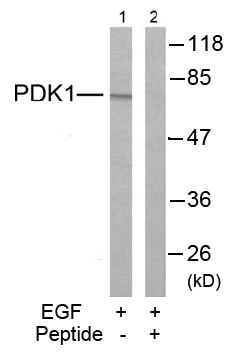 Rabbit Anti PDK1 (Ab-241) (polyclonal)Western blot analysis
