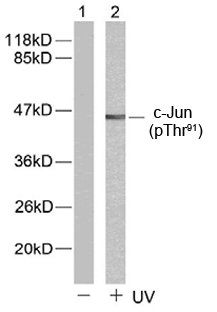 Rabbit Anti c-Jun (Phospho-Thr91) (polyclonal) Western Blot analysis