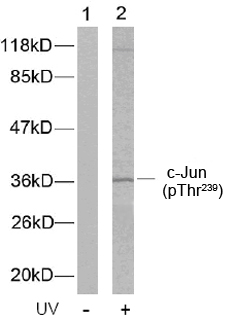 Rabbit Anti c-Jun (Phospho-Thr239) (polyclonal) Western Blot analysis
