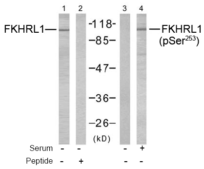 Rabbit Anti FKHRL1 (Phospho-Ser253) (polyclonal) Western blot analysis