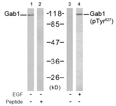 Western blot analysis using anti Gab1 (Ab-627)
