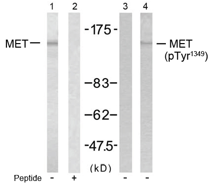 Western blot analysis using anti Met (Ab-1349)
